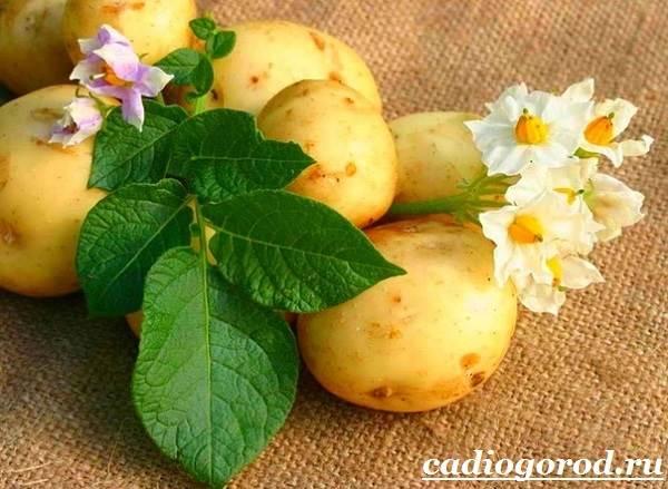 Как-сажать-картошку-Когда-сажать-картошку-1