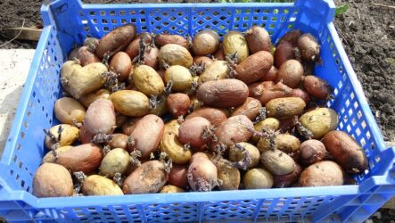 Как сажать картошку? Когда сажать картошку?