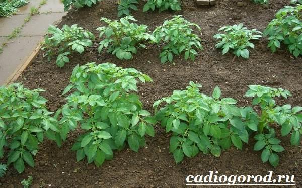 Как-сажать-картошку-Когда-сажать-картошку-2