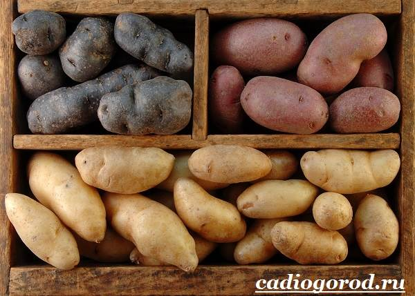 Как-сажать-картошку-Когда-сажать-картошку-6