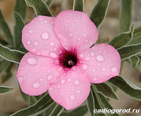Адениум-цветок-Выращивание-и-уход-за-цветком-адениум-10