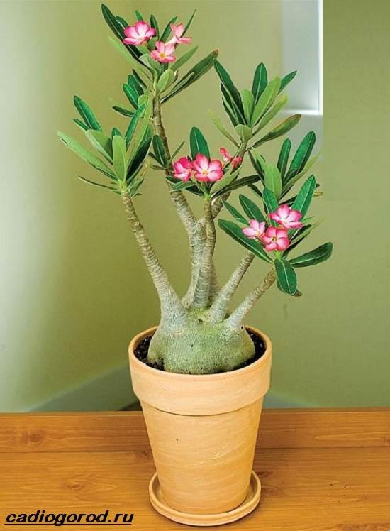 Адениум-цветок-Выращивание-и-уход-за-цветком-адениум-4