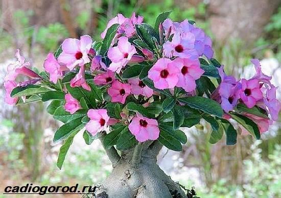 Адениум-цветок-Выращивание-и-уход-за-цветком-адениум-5