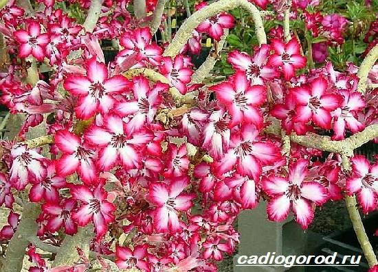 Адениум-цветок-Выращивание-и-уход-за-цветком-адениум-7