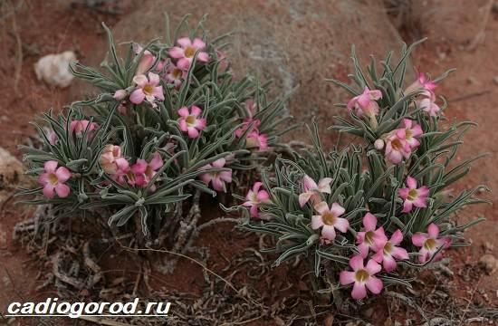 Адениум-цветок-Выращивание-и-уход-за-цветком-адениум-9
