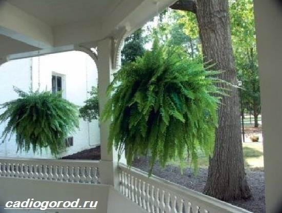 Адиантум-папоротник-Выращивание-адиантума-Уход-за-адиантумом-6