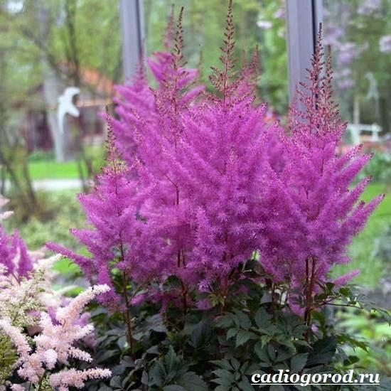 Астильба-цветок-Выращивание-астильбы-Уход-за-астильбой-2
