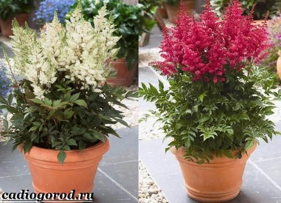 Астильба-цветок-Выращивание-астильбы-Уход-за-астильбой-8