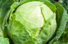 Выращивание капусты. Как и когда сажать капусту? Уход за капустой