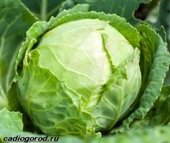 Выращивание-капусты-Как-и-когда-сажать-капусту-Уход-за-капустой-1
