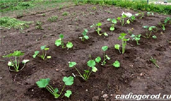 Выращивание-тыквы-Как-и-когда-сажать-тыкву-Уход-за-тыквой-1