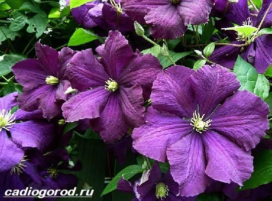 Клематис-цветок-Выращивание-клематиса-Уход-за-клематисом-2
