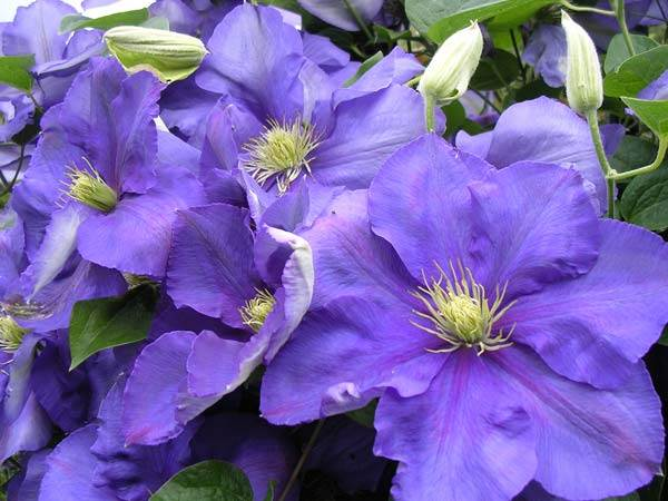 Клематис-цветок-Выращивание-клематиса-Уход-за-клематисом-3