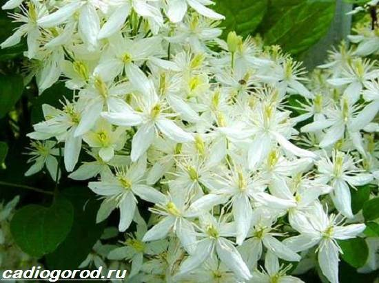 Клематис-цветок-Выращивание-клематиса-Уход-за-клематисом-4