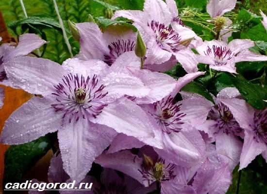 Клематис-цветок-Выращивание-клематиса-Уход-за-клематисом-8