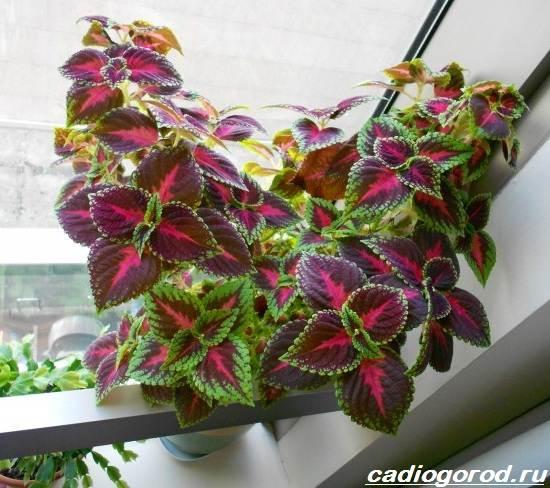Колеус-цветок-Выращивание-колеуса-Уход-за-колеусом-3