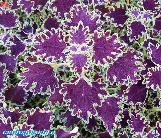 Колеус-цветок-Выращивание-колеуса-Уход-за-колеусом-4
