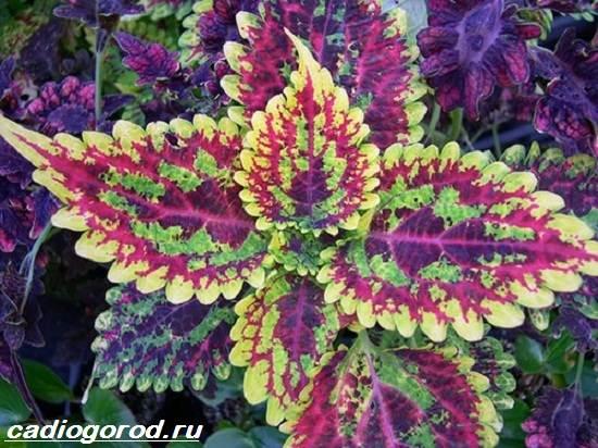 Колеус-цветок-Выращивание-колеуса-Уход-за-колеусом-5