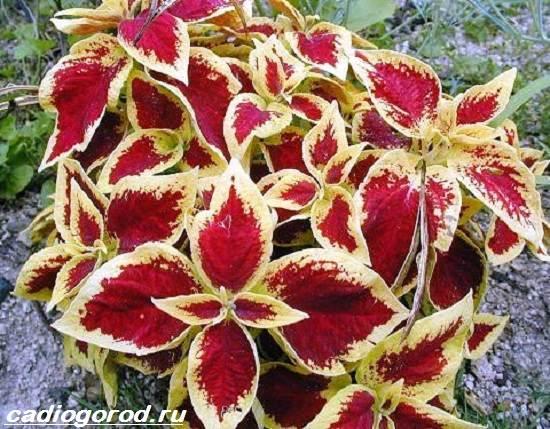 Колеус-цветок-Выращивание-колеуса-Уход-за-колеусом-6