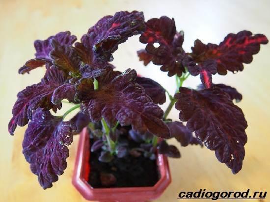 Колеус-цветок-Выращивание-колеуса-Уход-за-колеусом-7