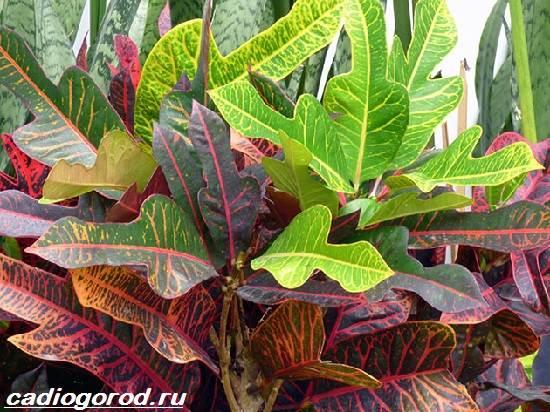 Кротон-цветок-Выращивание-кротона-Уход-за-кротоном-2