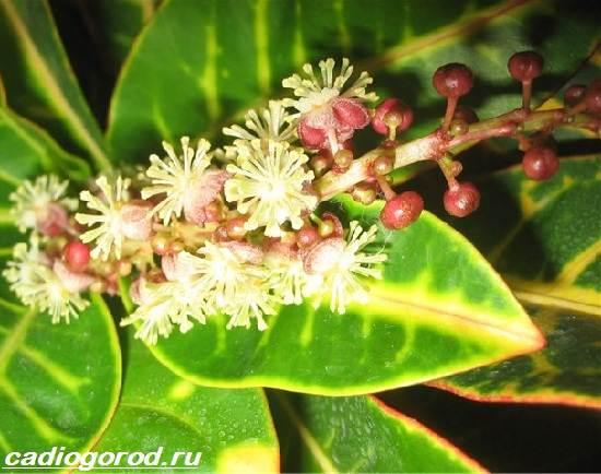 Кротон-цветок-Выращивание-кротона-Уход-за-кротоном-3