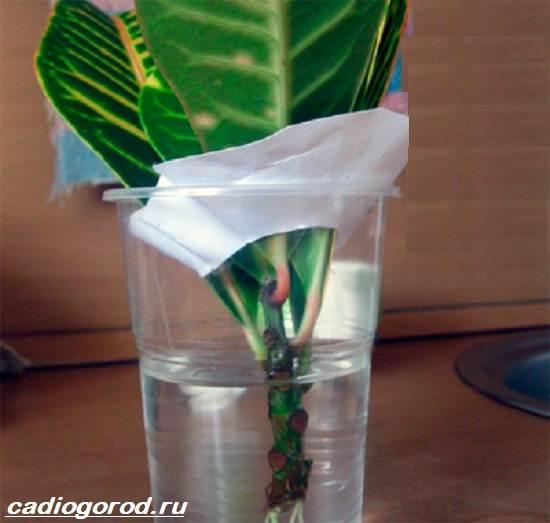 Кротон-цветок-Выращивание-кротона-Уход-за-кротоном-5