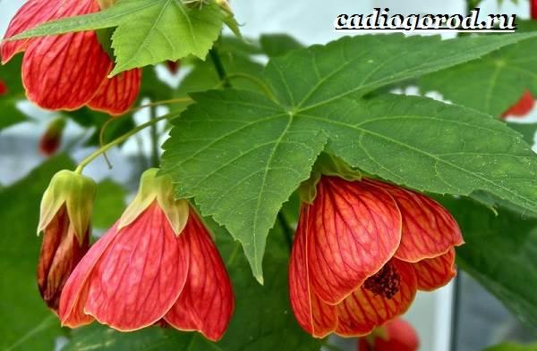 Абутилон-цветок-Выращивание-абутилона-Уход-за-абутилоном-11
