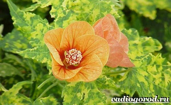 Абутилон-цветок-Выращивание-абутилона-Уход-за-абутилоном-12