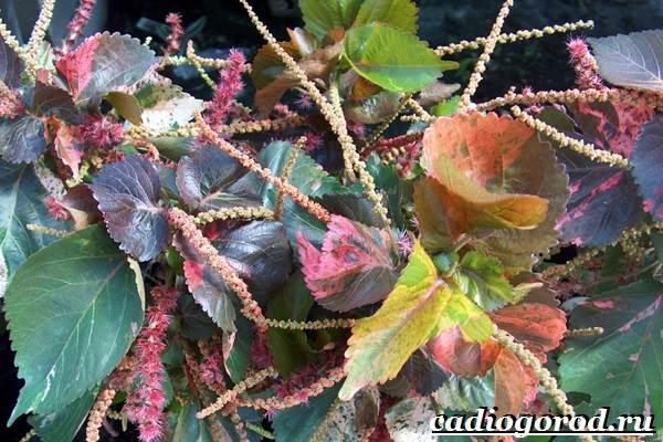 Акалифа-цветок-Выращивание-акалифы-Уход-за-акалифой-7