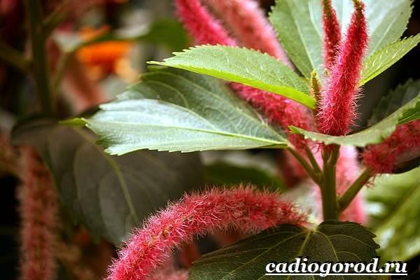 Акалифа-цветок-Выращивание-акалифы-Уход-за-акалифой-9