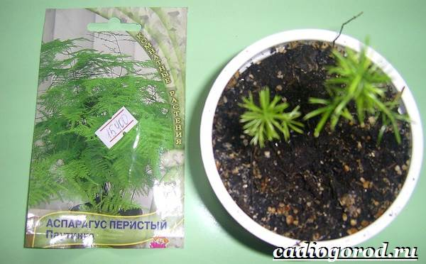 Аспарагус-цветок-Выращивание-аспарагуса-Уход-за-аспарагусом-10
