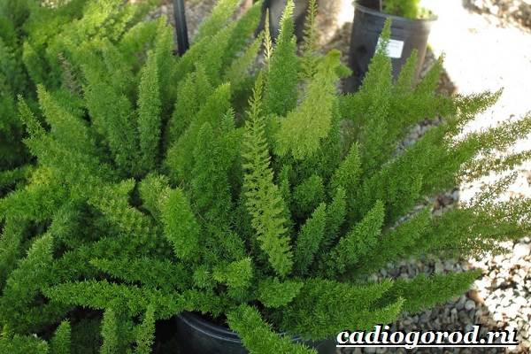 Аспарагус-цветок-Выращивание-аспарагуса-Уход-за-аспарагусом-5