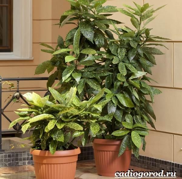 Аукуба-цветок-Выращивание-аукубы-Уход-за-аукубой-8