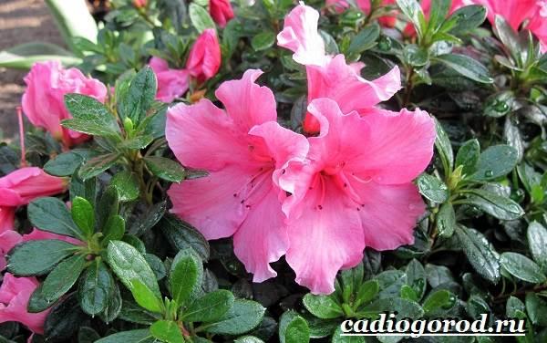 Азалия-цветок-Выращивание-азалии-Уход-за-азалией-1
