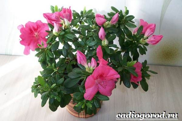 Азалия-цветок-Выращивание-азалии-Уход-за-азалией-3