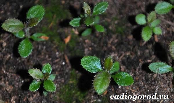 Азалия-цветок-Выращивание-азалии-Уход-за-азалией-5