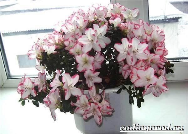 Азалия-цветок-Выращивание-азалии-Уход-за-азалией-7