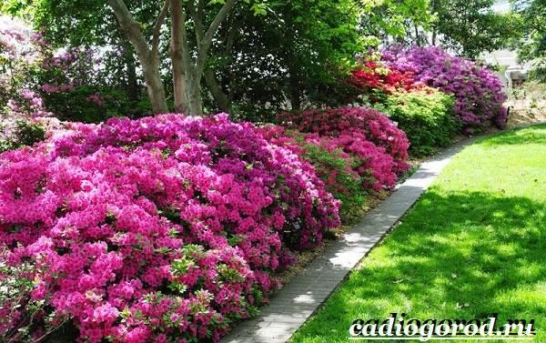 Азалия-цветок-Выращивание-азалии-Уход-за-азалией-9