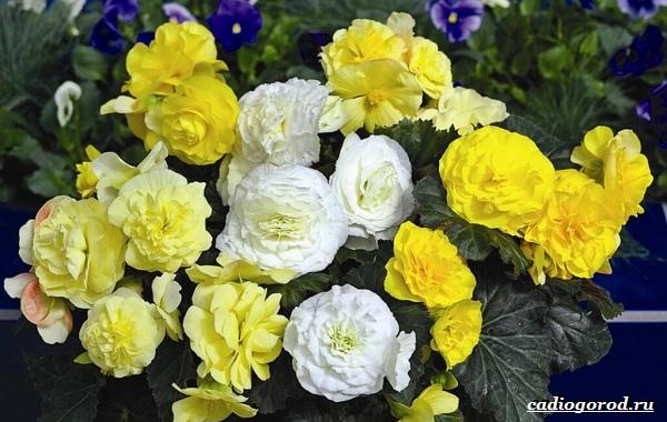 Бегония-цветок-Выращивание-бегонии-Уход-за-бегонией-20