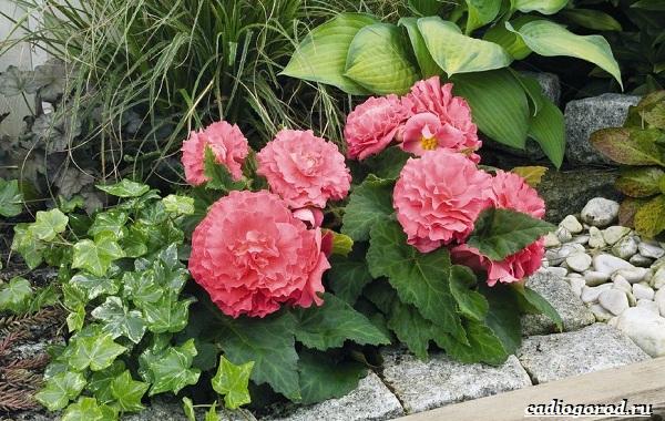 Бегония-цветок-Выращивание-бегонии-Уход-за-бегонией-21
