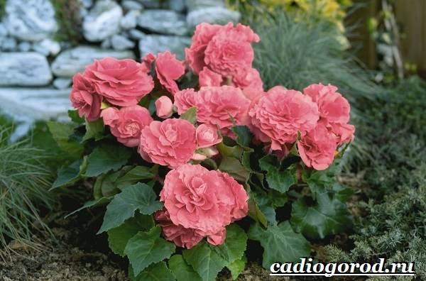 Бегония-цветок-Выращивание-бегонии-Уход-за-бегонией-3