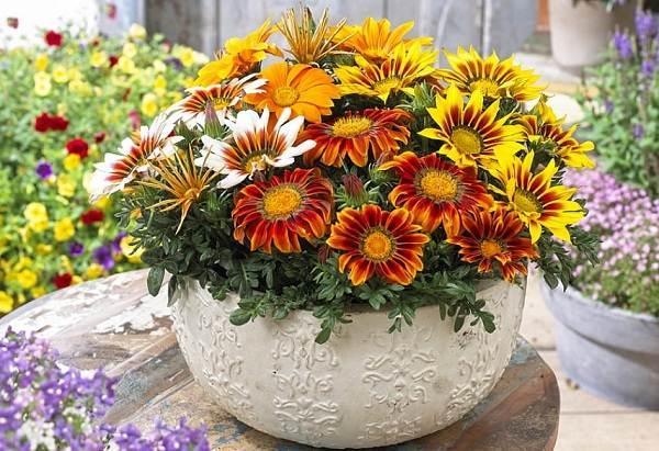 Гацания-цветок-Выращивание-и-уход-1