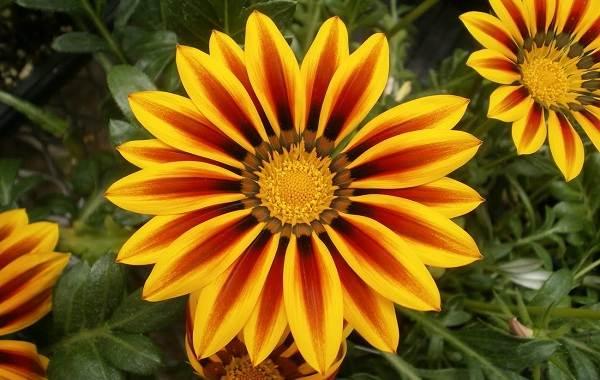 Гацания-цветок-Выращивание-и-уход-2