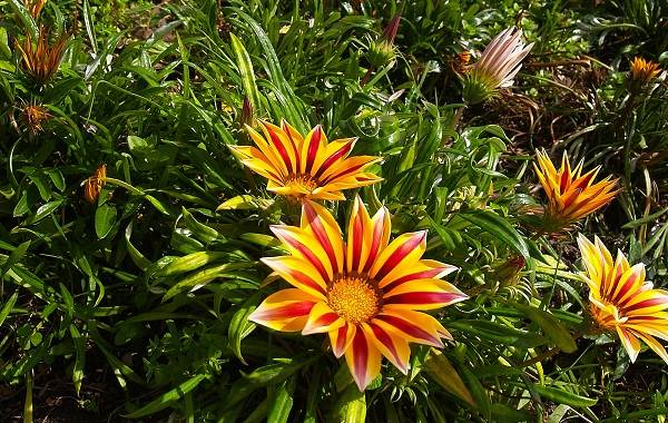 Гацания-цветок-Выращивание-и-уход-3