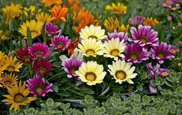 Гацания-цветок-Выращивание-и-уход-4