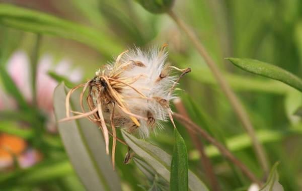 Гацания-цветок-Выращивание-и-уход-5