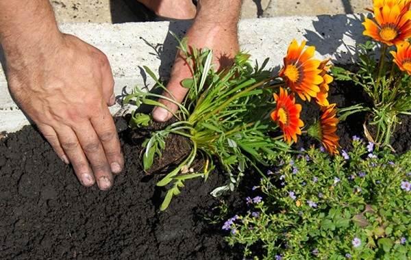 Гацания-цветок-Выращивание-и-уход-6