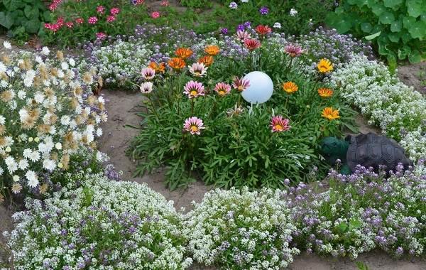 Гацания-цветок-Выращивание-и-уход-7