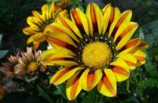 Гацания цветок. Выращивание и уход